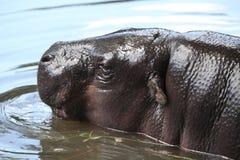 Pygmy hippopotamus (Choeropsis liberiensis). Stock Images