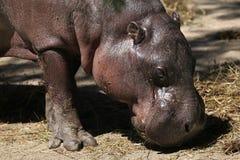 Pygmy hippopotamus (Choeropsis liberiensis). Stock Photo