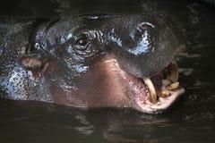 Pygmy hippopotamus (Choeropsis liberiensis). Stock Photos