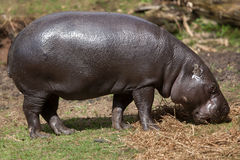 Pygmy hippopotamus Choeropsis liberiensis. Wildlife animal stock photo