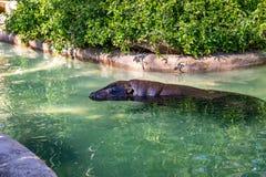 Pygmy hippopotamus Choeropsis liberiensis in zoo Barcelona.  royalty free stock image