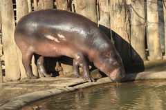 Pygmy hippopotamus. Is drinking from a pool stock image