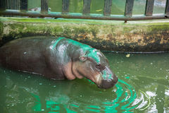 Pygmy hippopotamus drinking water in the cage Thailand open zoo Stock Photos