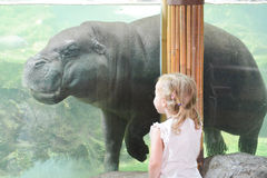Pygmy hippopotamus. Girl watching pygmy hippopotamus in Singapore Zoo stock photography