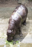 Pygmy hippopotamus Stock Photos