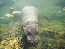 Pygmy Hippopotamus in Khao Kaeo Open Zoo Royalty Free Stock Photo