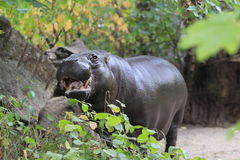 Pygmy hippopotamus. With the open mouth royalty free stock photo
