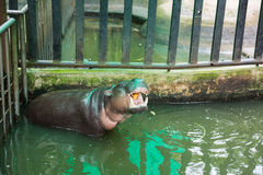 Pygmy hippopotamus opened mouth eats Royalty Free Stock Photos