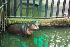 Pygmy hippopotamus opened mouth eats Royalty Free Stock Photos
