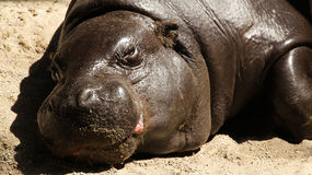 Pygmy Hippopotamus Resting Stock Images