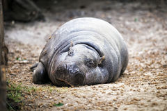 Pygmy hippopotamus. Royalty Free Stock Images