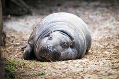 Pygmy hippopotamus. Royalty Free Stock Images