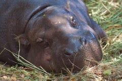 Pygmy hippopotamus sleeping. On ground royalty free stock photos