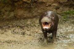 The pygmy hippopotamus is a small hippopotamid. Which is native to the forests and swamps of West Africa royalty free stock photo