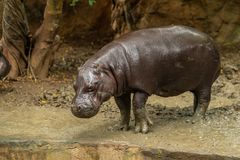 The pygmy hippopotamus is a small hippopotamid. Which is native to the forests and swamps of West Africa stock photos