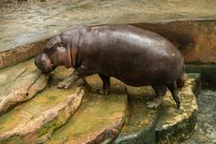 The pygmy hippopotamus is a small hippopotamid stock photography