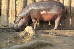 Pygmy hippopotamus. Standing in the mud royalty free stock image