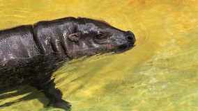 Pygmy Hippopotamus swimming Royalty Free Stock Images