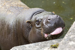 Pygmy hippopotamus tongue. The pygmy hippopotamus is a small (mini) hippopotamid which is native to the forests and swamps of West Africa stock photos