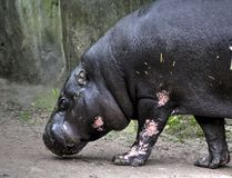 Pygmy hippopotamus. Walking in his enclosure. Foto taken in bruger zoo Arnhem royalty free stock photo