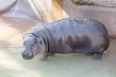 Pygmy Hippopotamus. A Pygmy hippopotamus in the water royalty free stock image