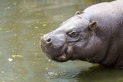 Pygmy hippopotamus in water Royalty Free Stock Images