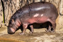 Pygmy hippopotamus wet, Choeropsis liberiensis, just out of the water Royalty Free Stock Images