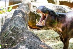 Pygmy Hippopotamus. In the zoo Stock Images
