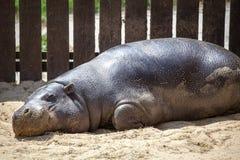 Pygmy hippopotamus in ZOO Bratislava Stock Photo