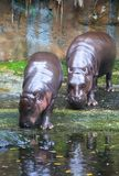 Pygmy Hippos. A pair of pygmy hippos grazing along the river's edge Stock Photo