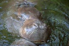Pygmy hippos playing Stock Photos