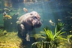Pygmy hippos underwater Stock Image