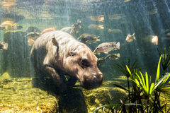 Pygmy hippos underwater Stock Images