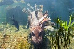 Pygmy hippos underwater Stock Photo