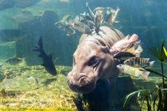 Pygmy hippos underwater Stock Photos