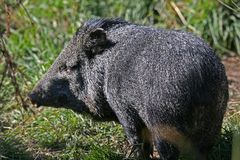 Pygmy Hog Royalty Free Stock Photography