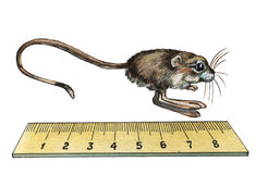 Pygmy Jerboa. Hand drawing watercolor Stock Images