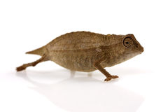 Pygmy Leaf Chameleon Stock Photography
