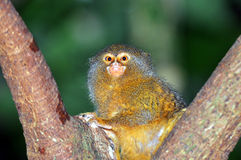 Pygmy marmoset. In now the smallest primate in the world Stock Photos