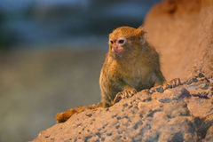 Pygmy marmoset. A pygmy marmoset in a peculiar position Stock Photo