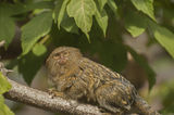 Pygmy marmoset. It is one of the smallest primates Royalty Free Stock Photo