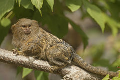 Pygmy marmoset. It is one of the smallest primates Stock Photo
