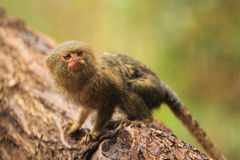 Pygmy marmoset στοκ φωτογραφίες