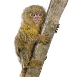 Pygmy Marmoset (5 weeks) Stock Photos