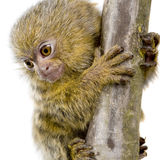 Pygmy Marmoset (5 weeks) Stock Photo
