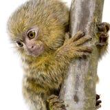 Pygmy Marmoset (5 weeks) Stock Photo