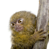 Pygmy Marmoset (5 weeks) Royalty Free Stock Photo