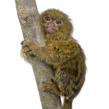 Pygmy Marmoset (5 weeks) Stock Photography