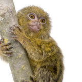 Pygmy Marmoset (5 weeks) Royalty Free Stock Image