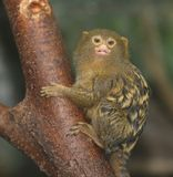 Pygmy marmoset royalty free stock photography